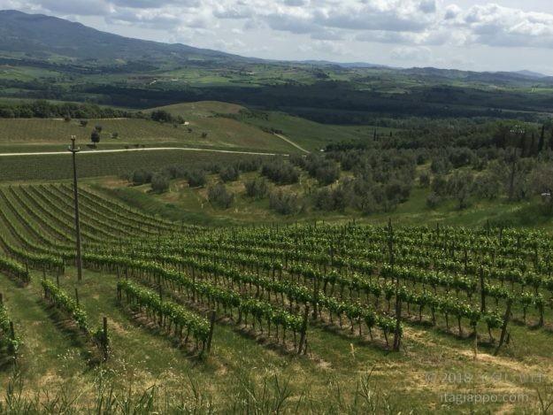 モンタルチーノ ブドウ畑